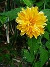 Einzelne Blüte Kerria japonica.JPG