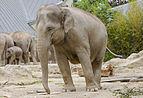 Elefante asiático (Elephas maximus), Tierpark Hellabrunn, Múnich, Alemania, 2012-06-17, DD 08.JPG