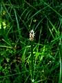 Eleocharis palustris IMG 4309.jpg