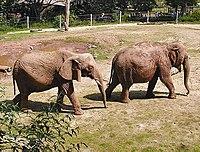 Elefantes africano (izquierda) y asiático  (derecha)