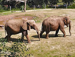 Left to right - African Savannah Elephant Loxodonta africana, born 1969, and Asian Elephant Elephas maximus, born 1970, at an English zoo.