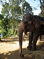 Elephant getting ready for safari in Kumily, thekady 6023.JPG