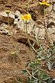 Encelia actoni 7933.JPG