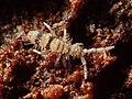 Entomobrya corticalis 61955413.jpg