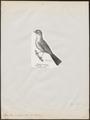 Eopsaltria australis - 1809-1845 - Print - Iconographia Zoologica - Special Collections University of Amsterdam - UBA01 IZ16600363.tif
