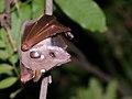Epauletted Fruit Bat (Epomophorus wahlbergi or crypturus) (6042096470).jpg