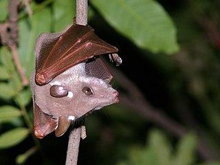 Peterss epauletted fruit bat species of mammal