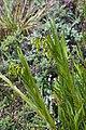 Epidendrum frutex (Orchidaceae) (44229322340).jpg