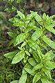 Epilobium roseum eu 76 14062008 1.jpg
