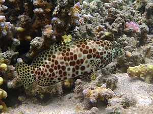 Honeycomb grouper - Epinephelus merra from Reunion Island