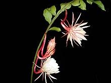Epiphyllum Oxypetalum Wikipedia