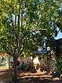 Ericales - Manilkara zapota - 7.jpg