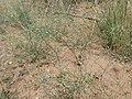 Eriogonum cernuum var. cernuum kz04.jpg