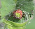 Eriophora ravilla.jpg
