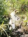 Eriophorum latifolium04.jpg
