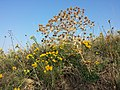 Eryngium campestre + Galatella linosyris sl1.jpg