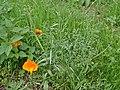 Eschscholzia californica Habitus.jpg