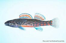 Slackwater darter, or Etheostoma boschungi fish - YouTube