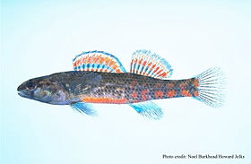 Etheostoma swaini.jpg