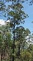 Eucalyptus acmenoides.jpg