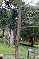 Eucalyptus deglupta 20zz.jpg