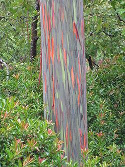 Eucalyptus degluta trunk.jpg