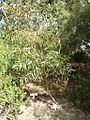 Eucalyptus olsenii.jpg