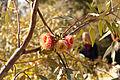 Eucalyptus youngiana KP gnangarra-11.jpg