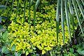 Euonymus japonicus 03.jpg