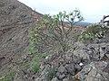 Euphorbia atropurpurea (Euphorbiaceae) (2).jpg