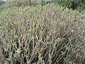 Euphorbia balsamifera Malpais2007 05 barranquillo 60.jpg