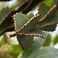 Euphorbia cooperi, Jardín Botánico, Múnich, Alemania 2012-04-21, DD 02.JPG