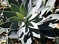 Euphorbia nevadensis folialrosette.jpg