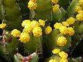 Euphorbia resinifera 2c.JPG