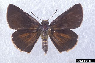 <i>Euphyes dukesi</i> species of insect