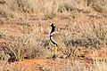 Eupodotis afraoides -Kgalagadi Transfrontier Park, South Africa-8 (1).jpg