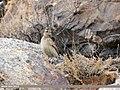 Eurasian Skylark (Alauda arvensis) (24721865067).jpg