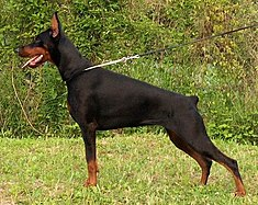 European Dobermann.jpg