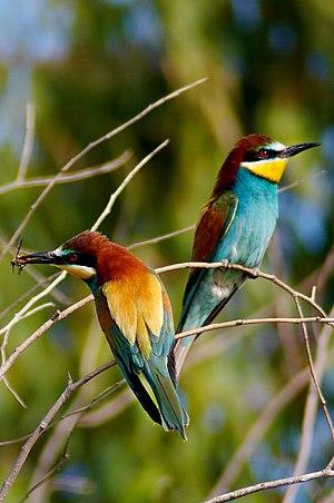 European bee-eater - Image: European bee eater