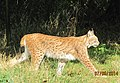 European lynx (15004067570).jpg
