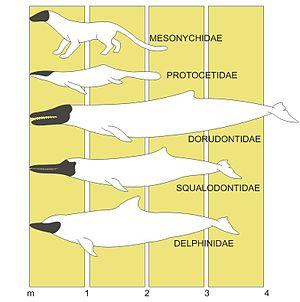 Proceso evolutivo del delfín (delphinidae), en negro se muestra la silueta del cráneo y en la parte inferior la escala en metros (m).