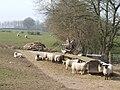 Ewes by the feeders - geograph.org.uk - 378137.jpg
