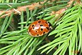 Eyed ladybird (NH266) (14501925796).jpg