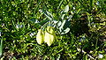 F.pallidiflora2.JPG