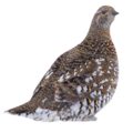 Falcipennis falcipennis (transparent bg).png