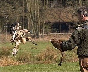 Lov pomocou dravých vtákov je dnes už menej rozšírený