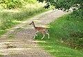 Fallow deer ? (26276480848).jpg