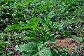 Farm with lots of okro plant.jpg