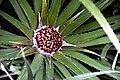 Fascicularia bicolor 01.jpg