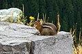 Fat ground squirrel (23237902581).jpg
